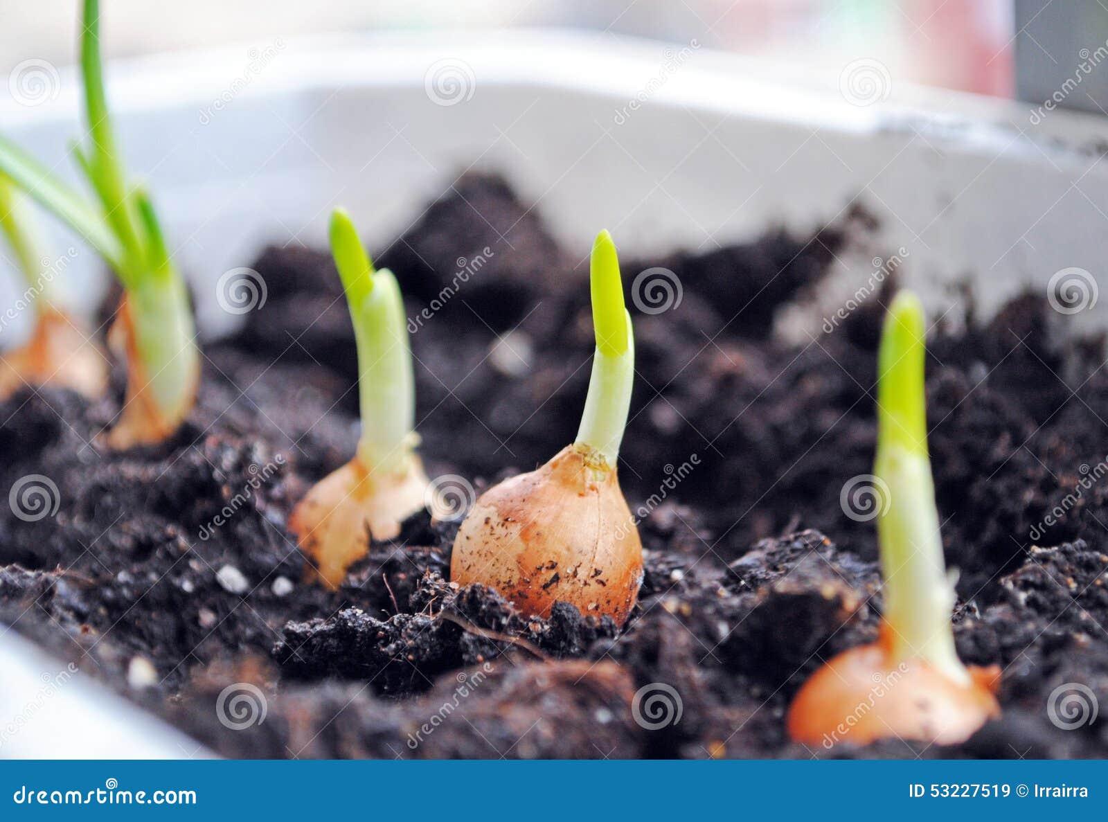 Cultivo de los almácigos de las cebollas verdes
