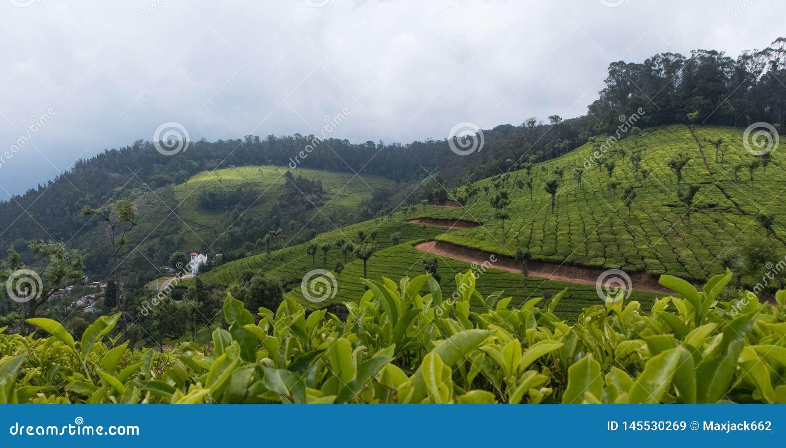 Cultivo del t? en las monta?as