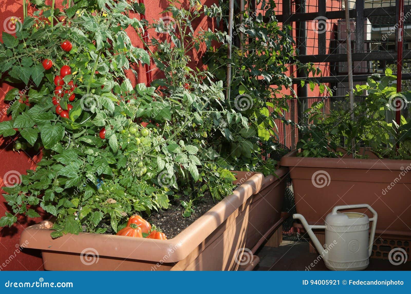 Cultivo Del Tomate En Los Floreros De Un Jardín Urbano