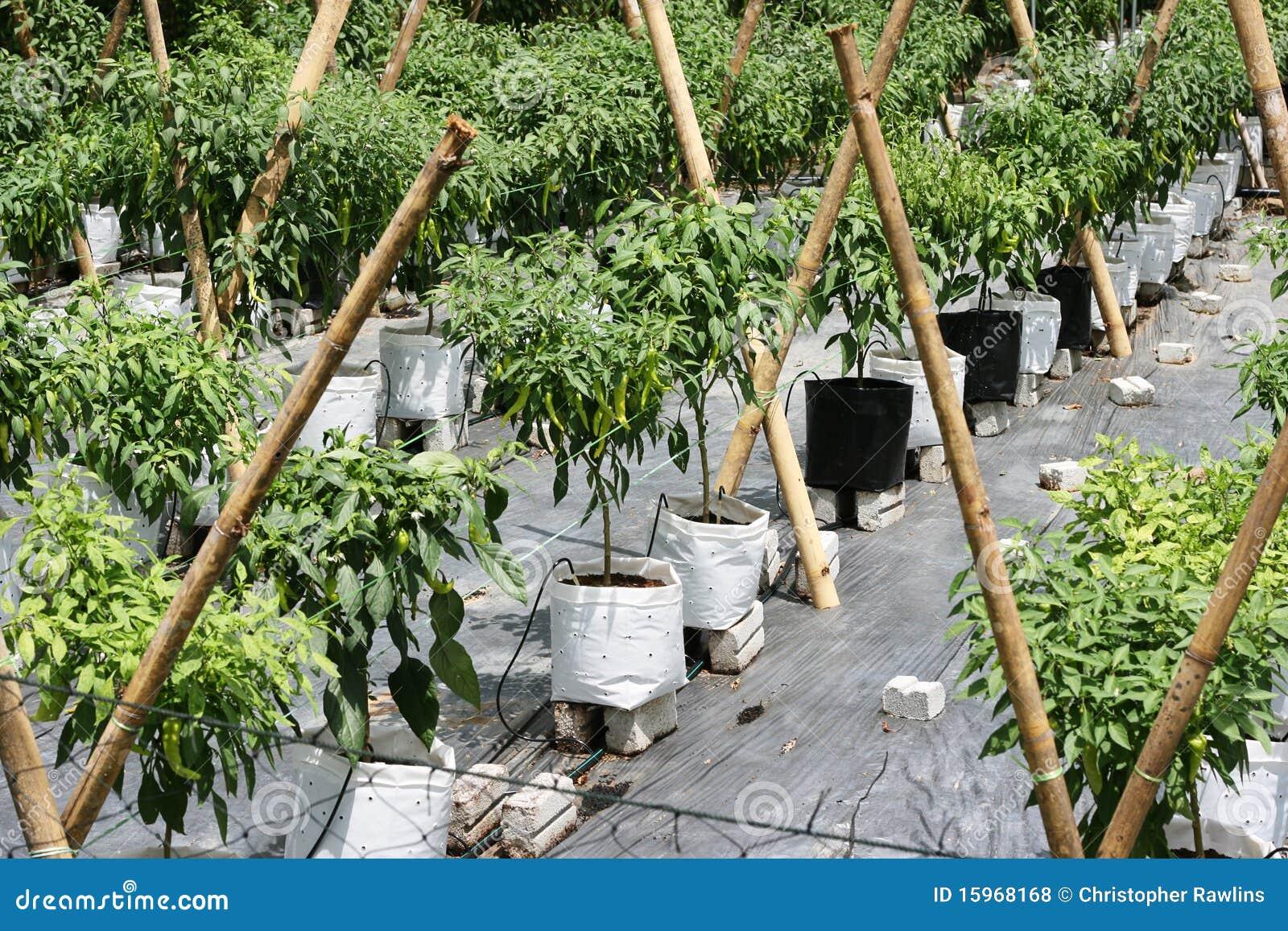 Cultivo dos pimentões
