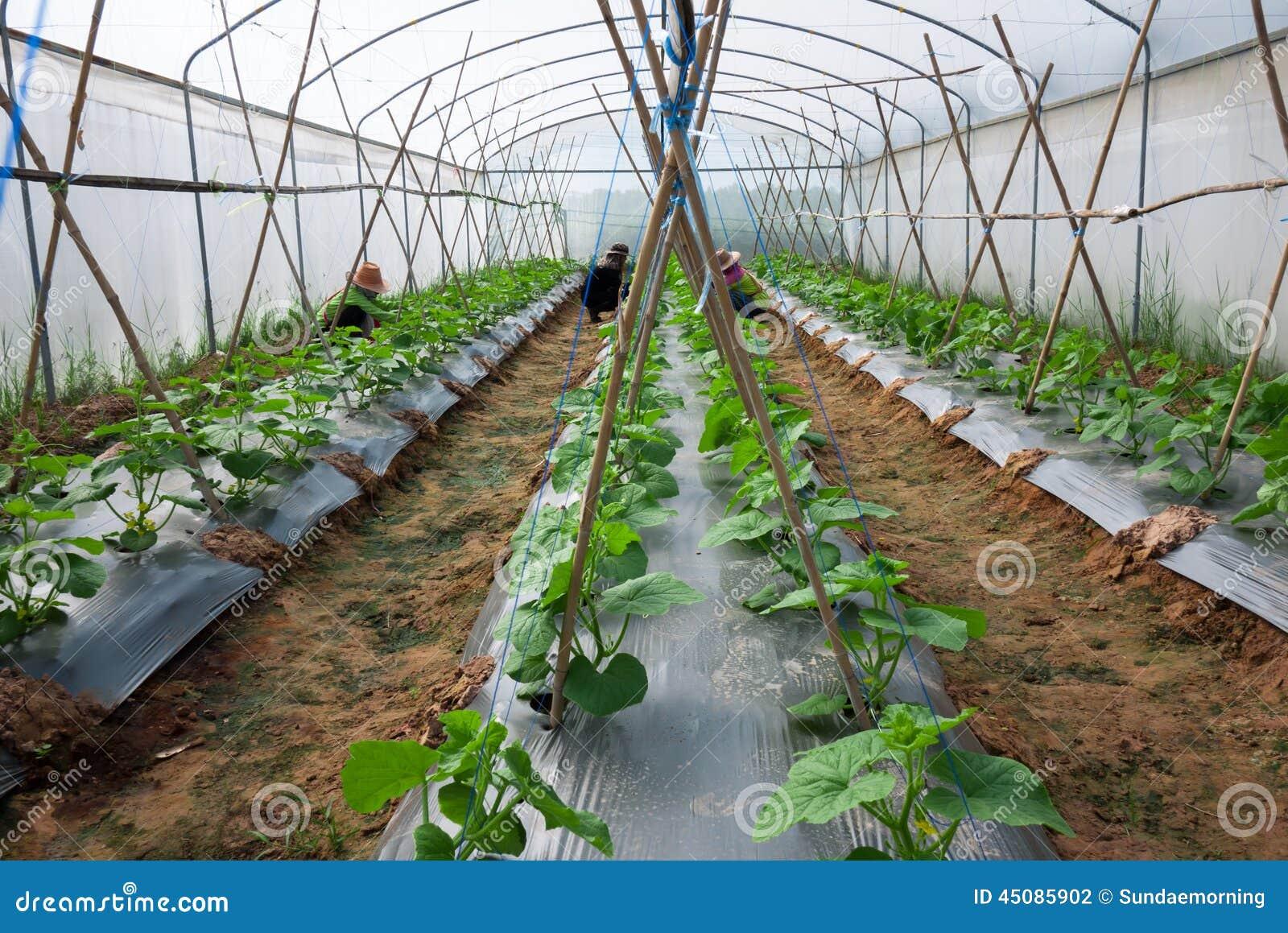 Cultivo sob a estufa foto de stock imagem 45085902 - Foto estufa ...