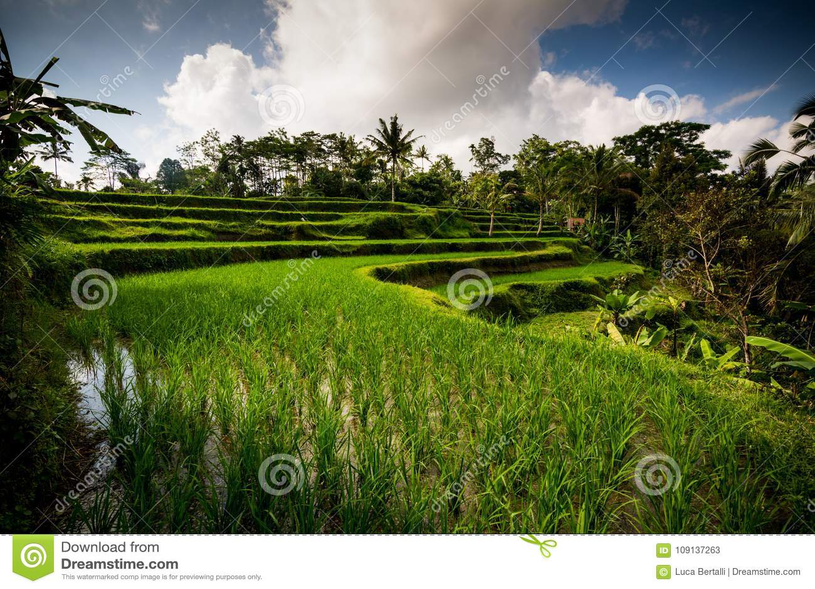 Cultivos Del Arroz En Bali Imagen De Archivo Imagen De
