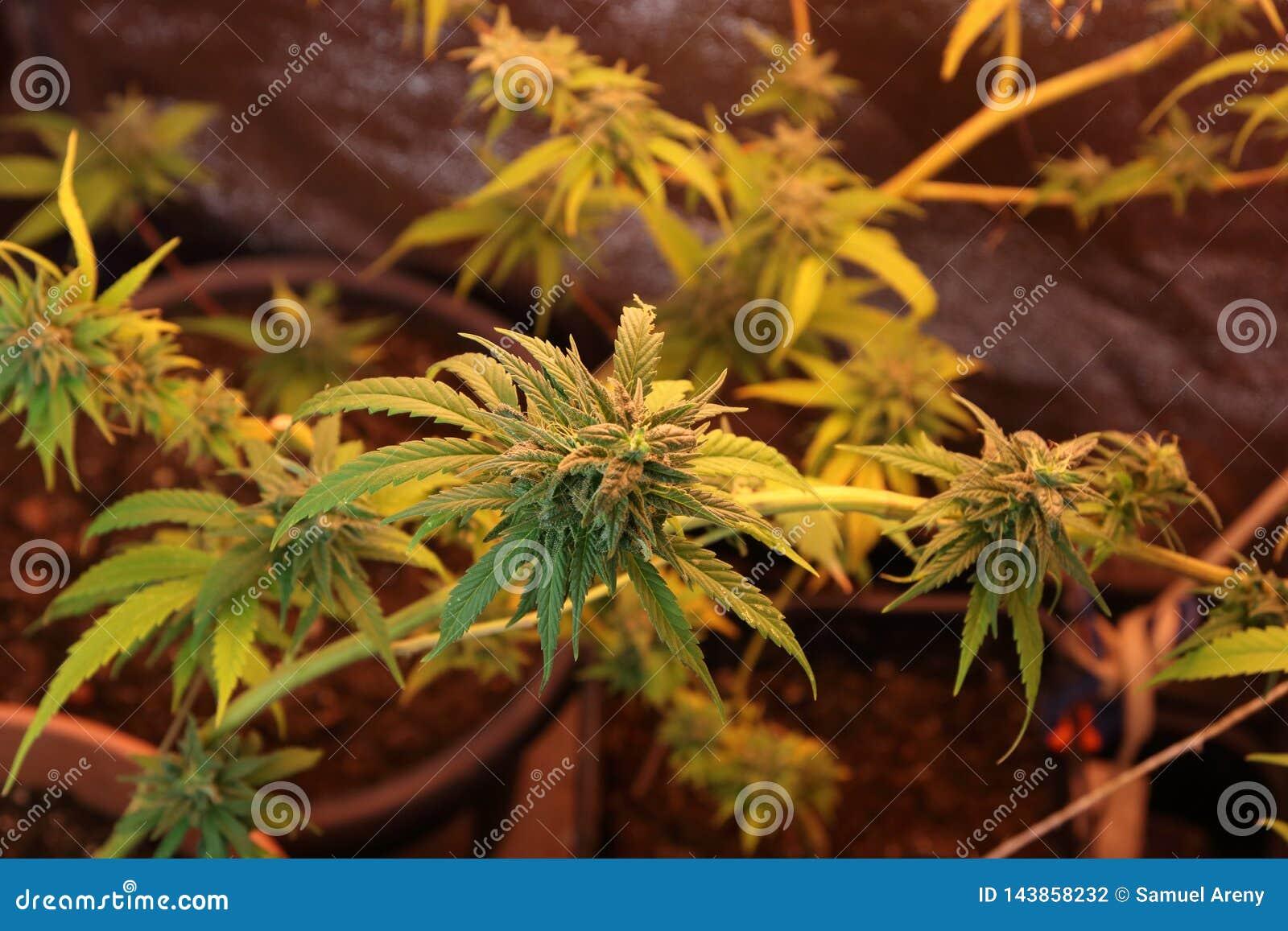 Cultura de flores do cannabis em uma caixa
