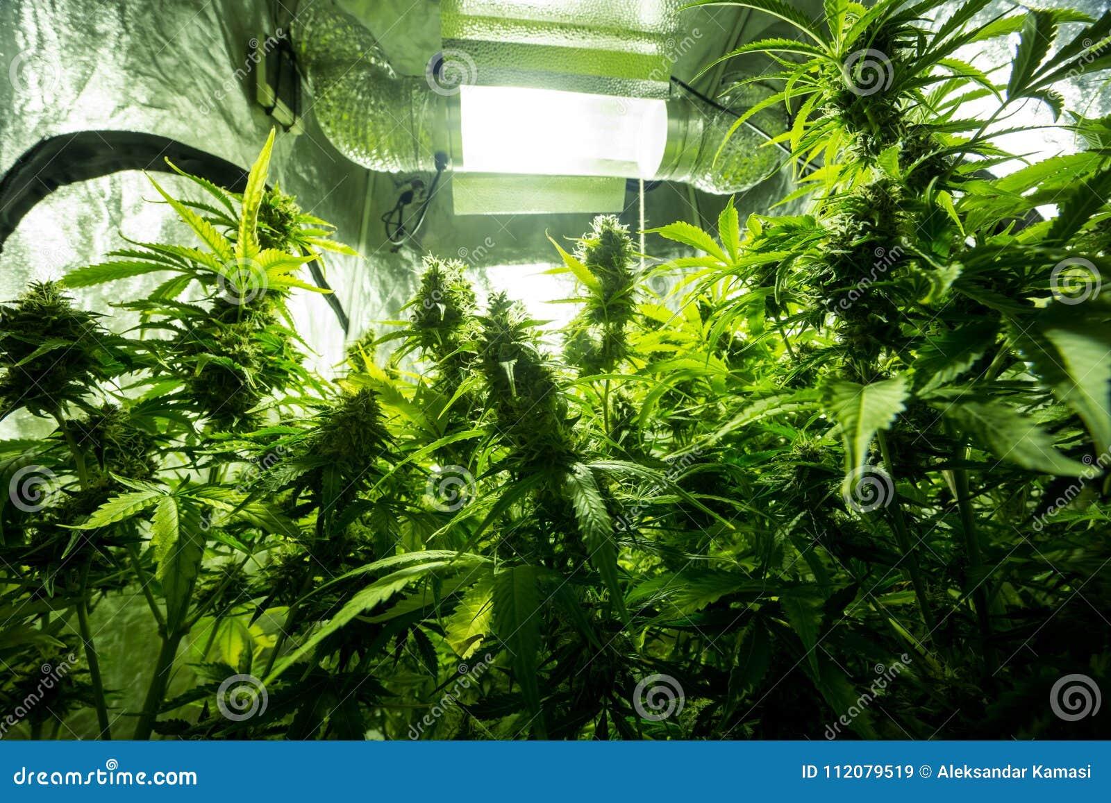 Culture D\'intérieur De Cannabis - Les Cannabis élèvent La Boîte ...