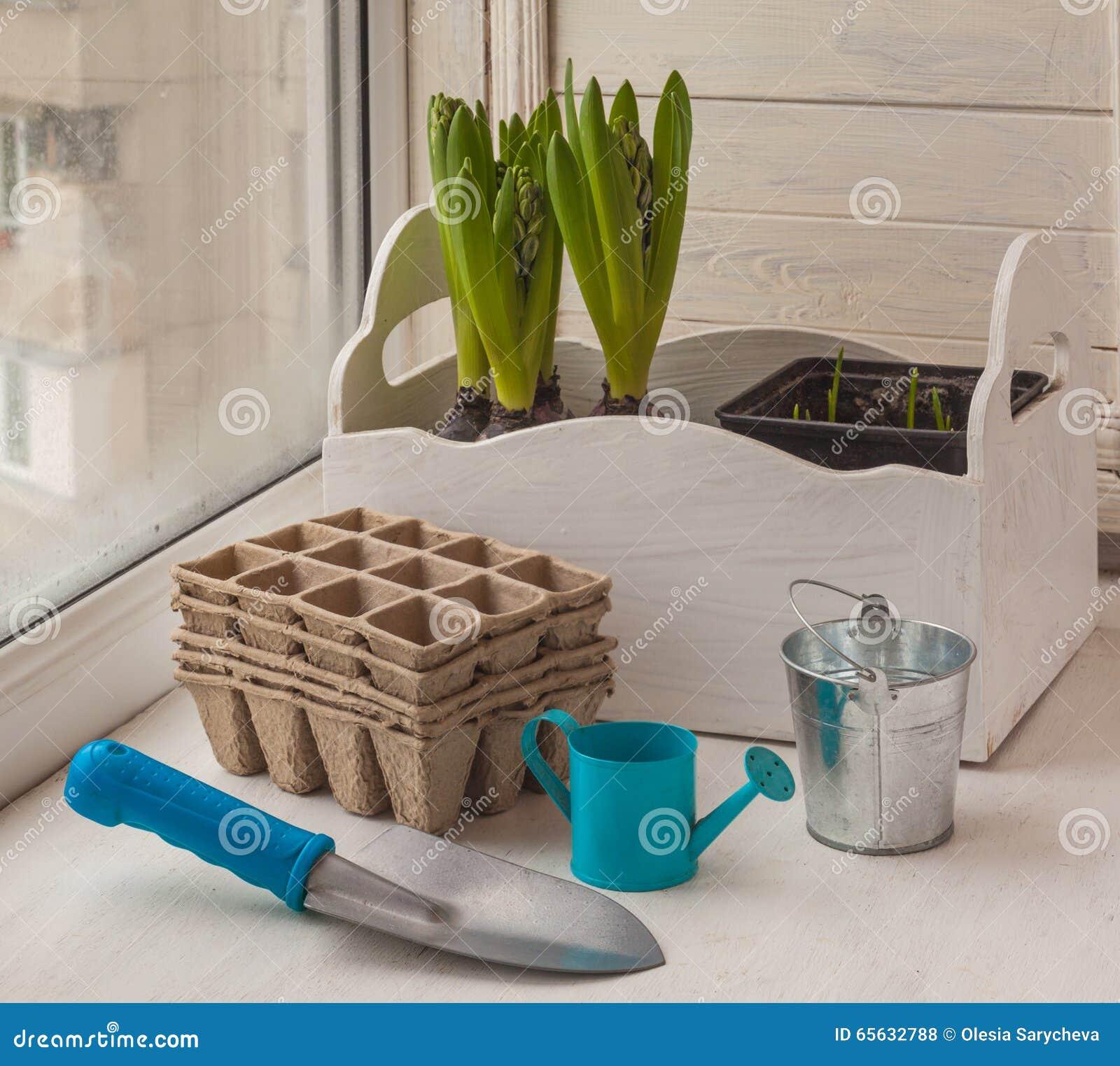 Culture dans des jacinthes et du muscari de fenêtre dans des pots