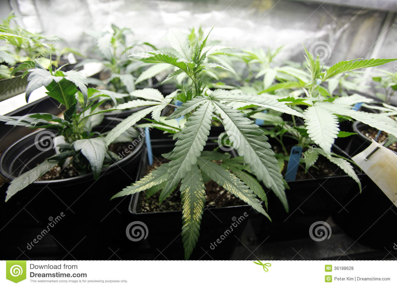 Culture de marijuana photos libres de droits image 36188628 for Culture interieur cannabis