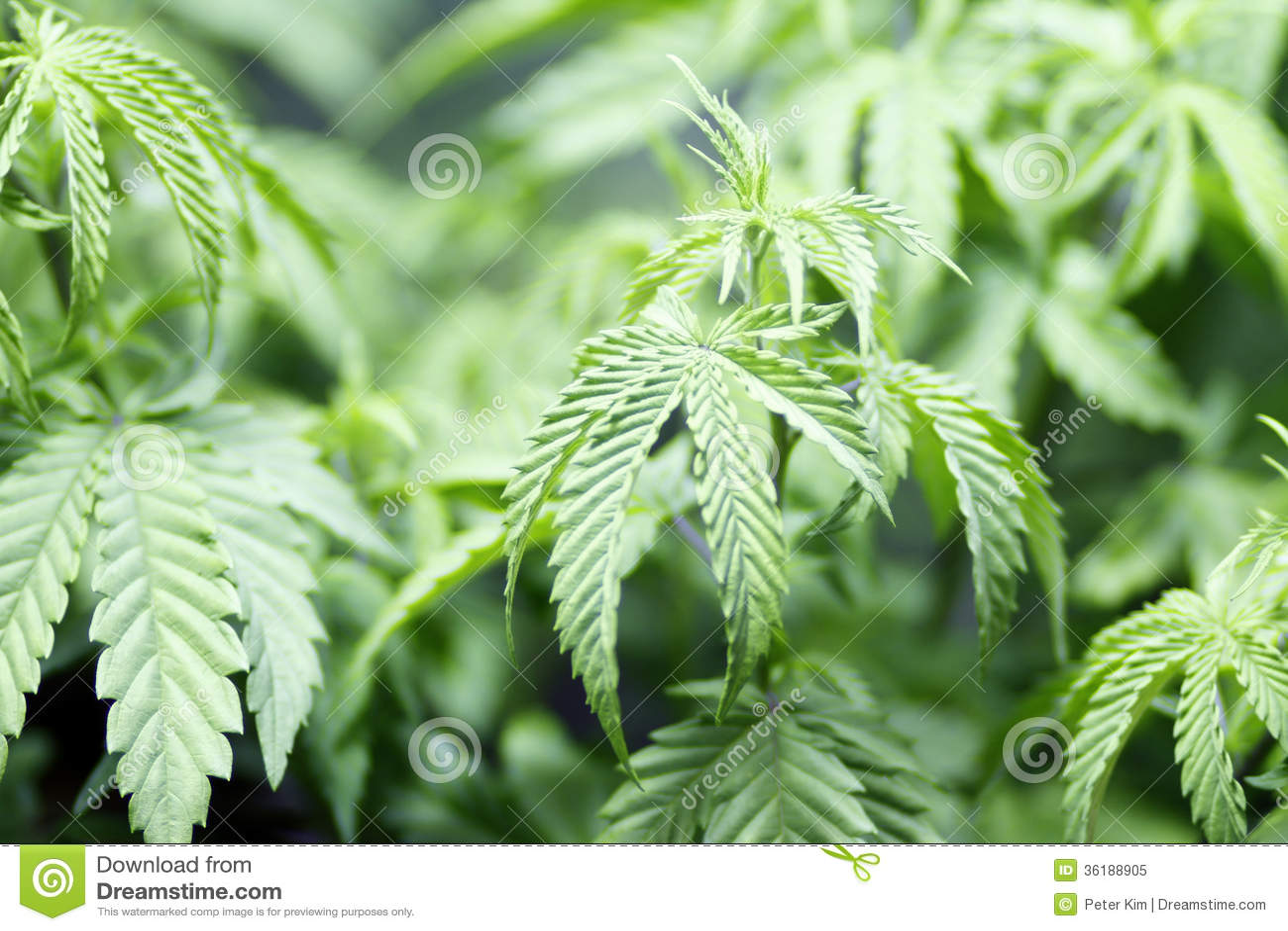 Culture de marijuana photo libre de droits image 36188905 for Cultivation de cannabis interieur