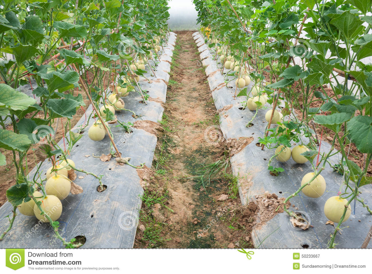 Culture de melon l 39 tape harvsting photo stock image 50233667 - Culture de l echalote ...