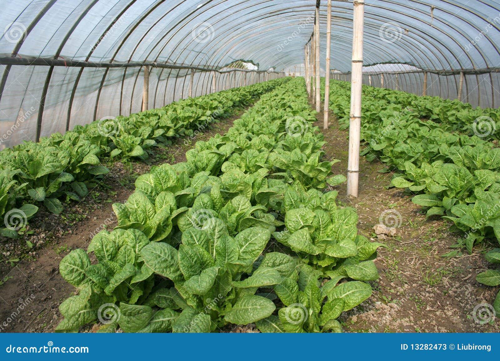 culture de serre chaude image stock image du greenhouse 13282473. Black Bedroom Furniture Sets. Home Design Ideas