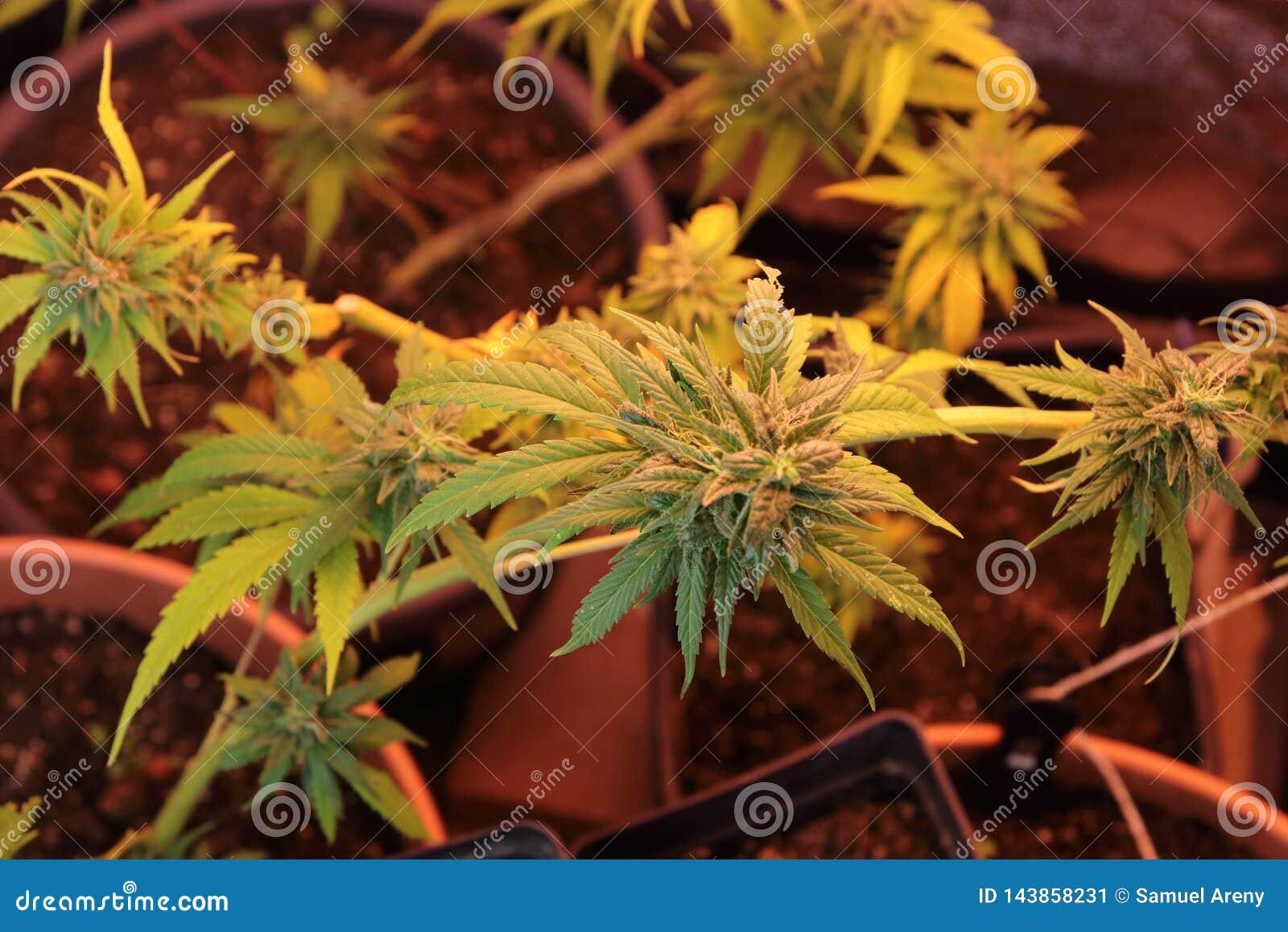 Culture des fleurs de cannabis dans une boîte