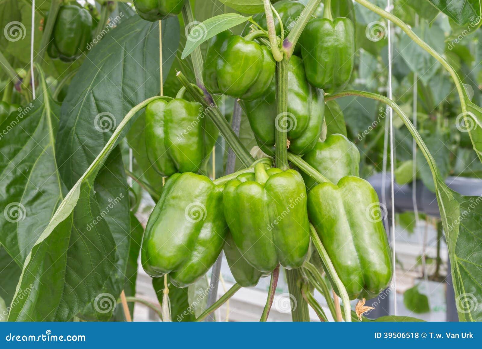 culture des poivrons en serre chaude n erlandaise photo stock image du jardin poivron 39506518. Black Bedroom Furniture Sets. Home Design Ideas