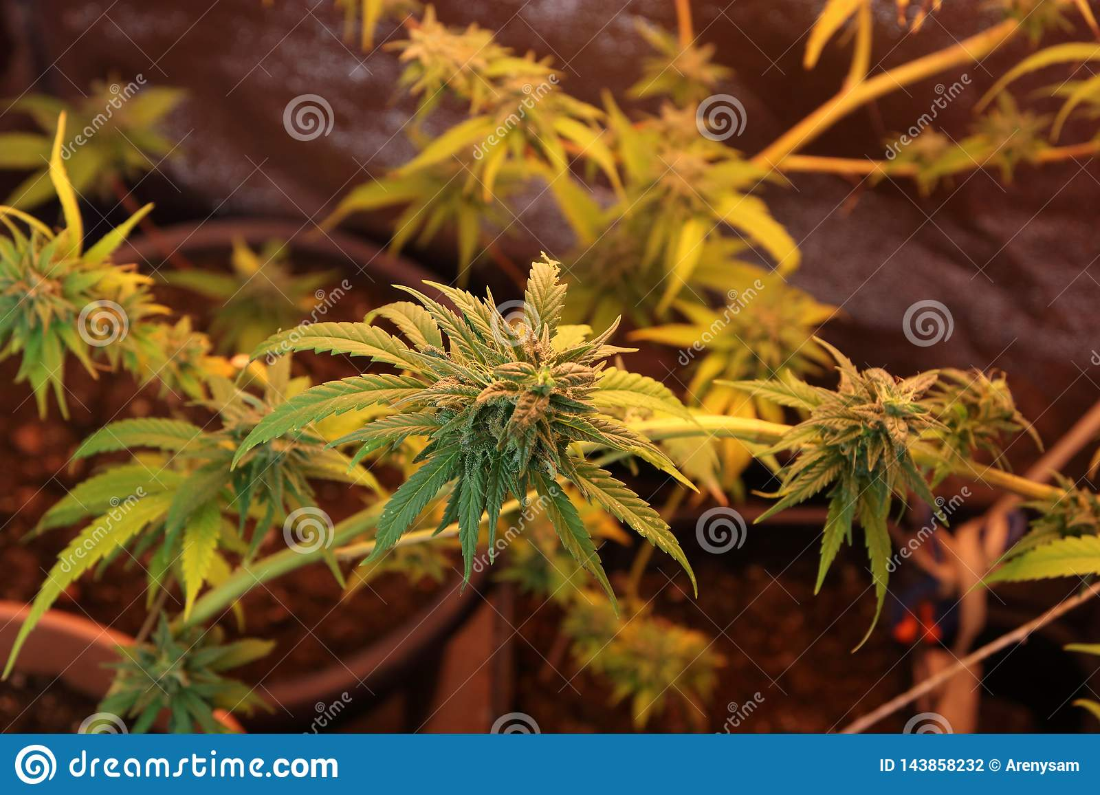 Culture of cannabis flowers in a box