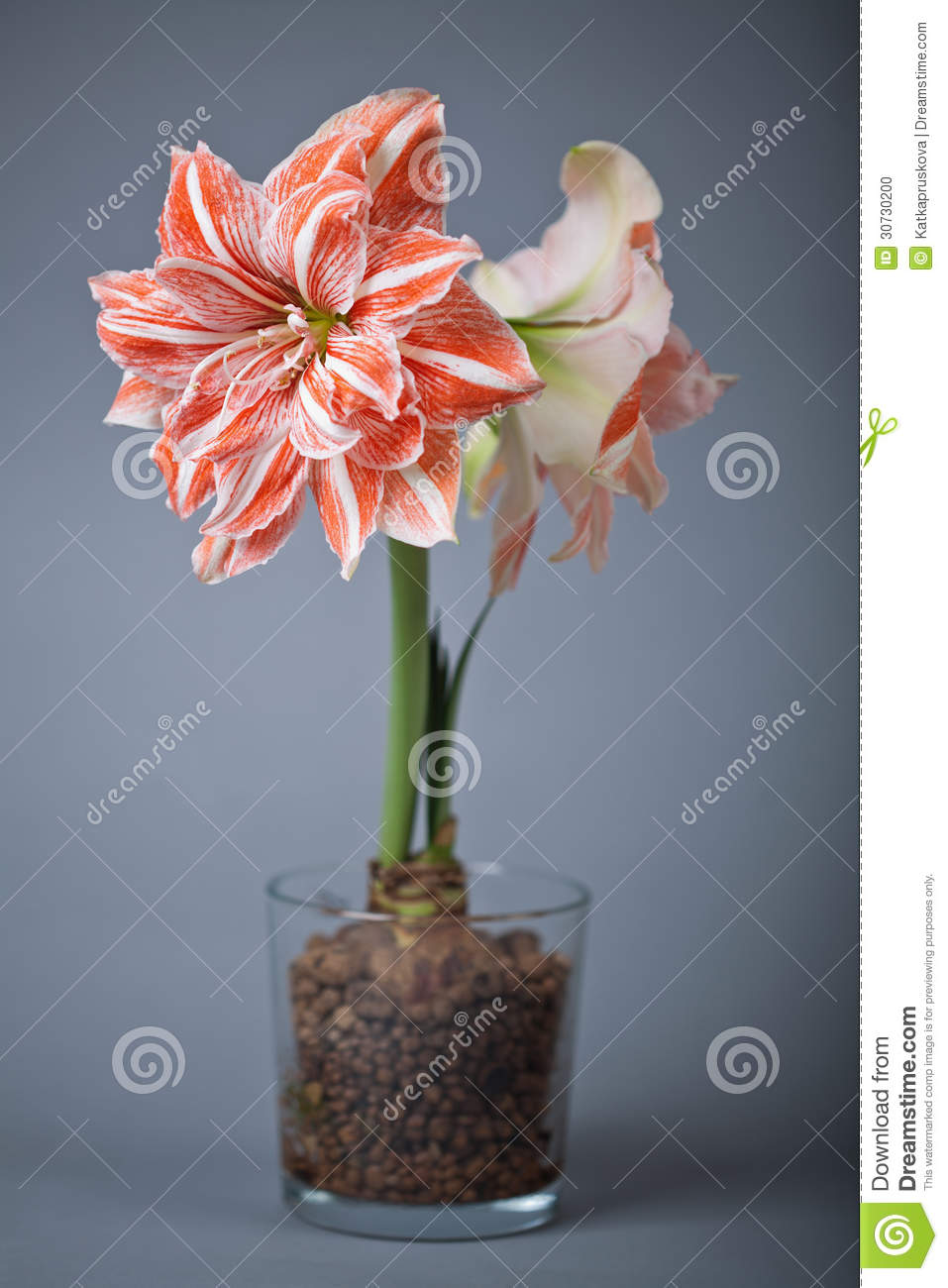 culture hydroponique amaryllis photo stock image 30730200