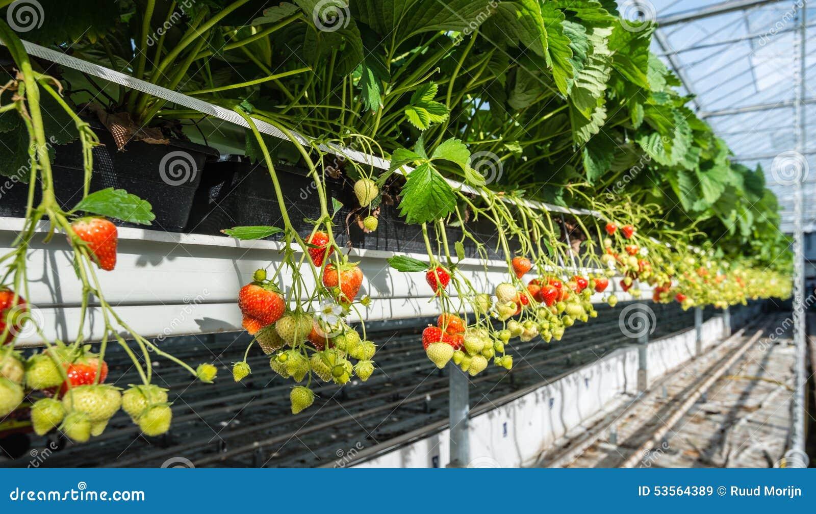 Culture hydroponique de fraise une hauteur de travail - Colture idroponiche in casa ...