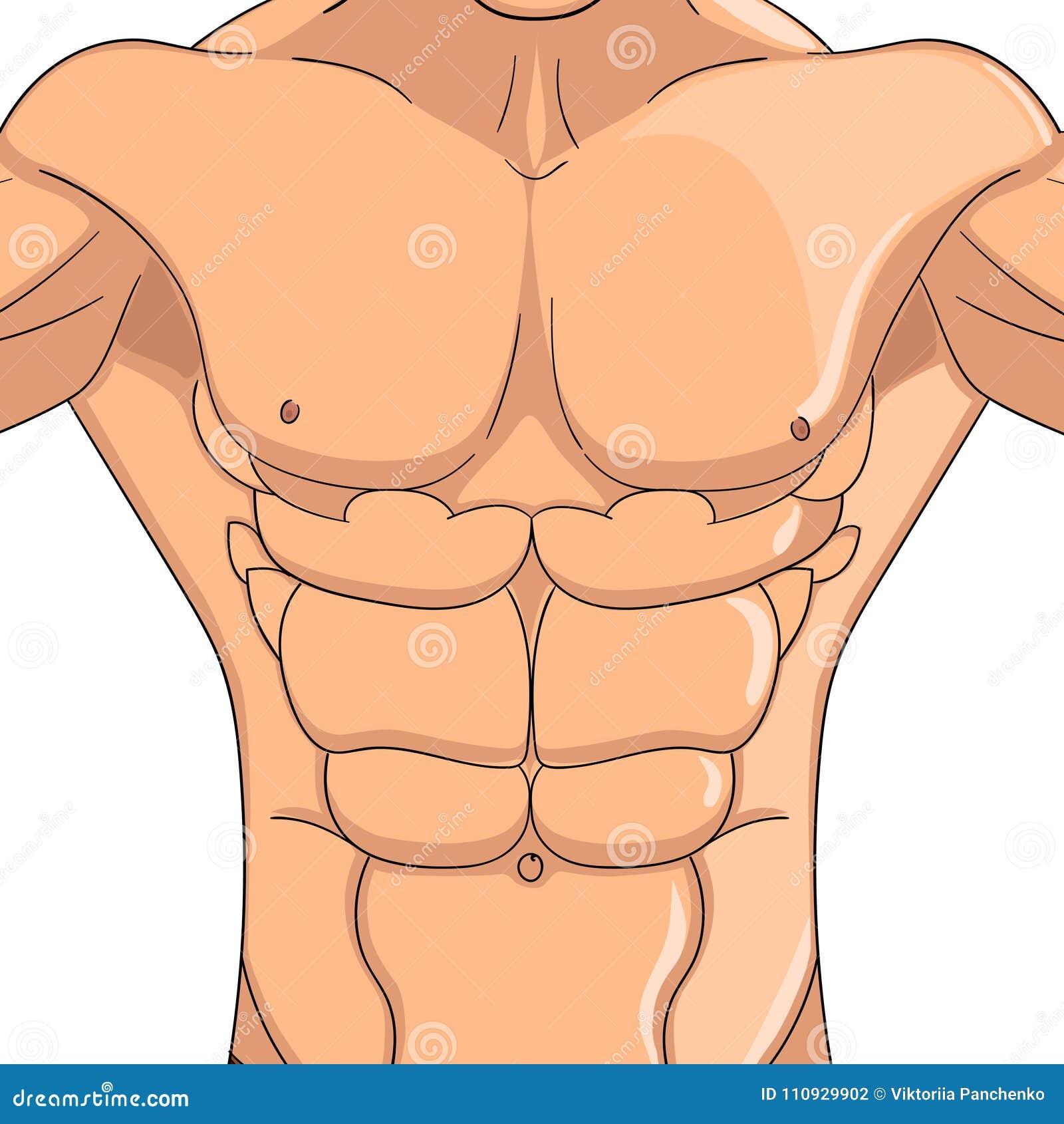 Culturista, Anatomía Del Hombre De Los Músculos Abdominales Objeto ...