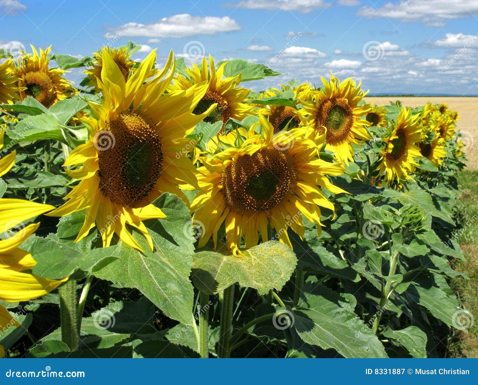 Cultvation van zonnebloemen