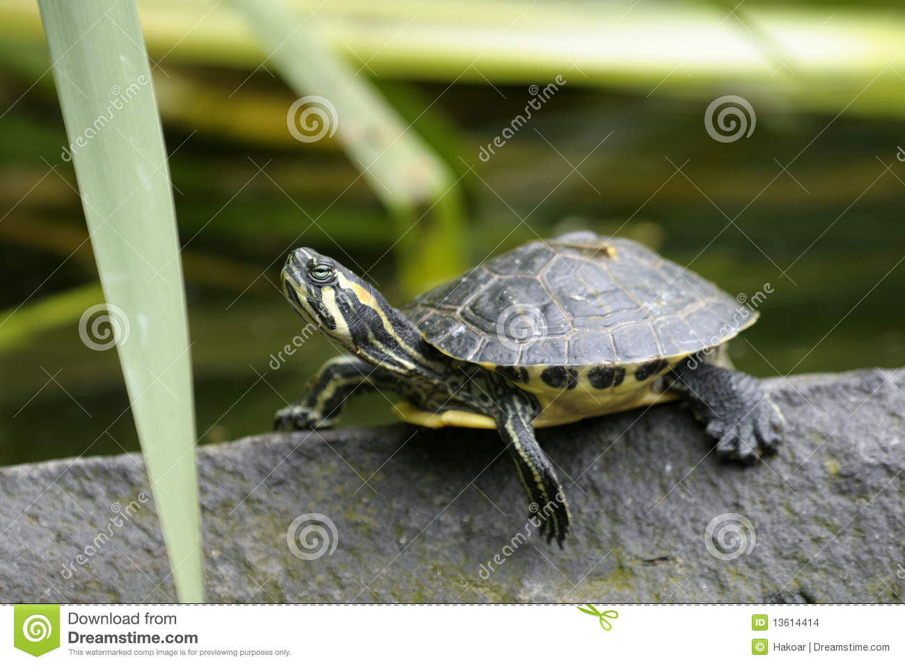 Cumberland slider trachemys scripta troostii stock photo for Trachemys scripta