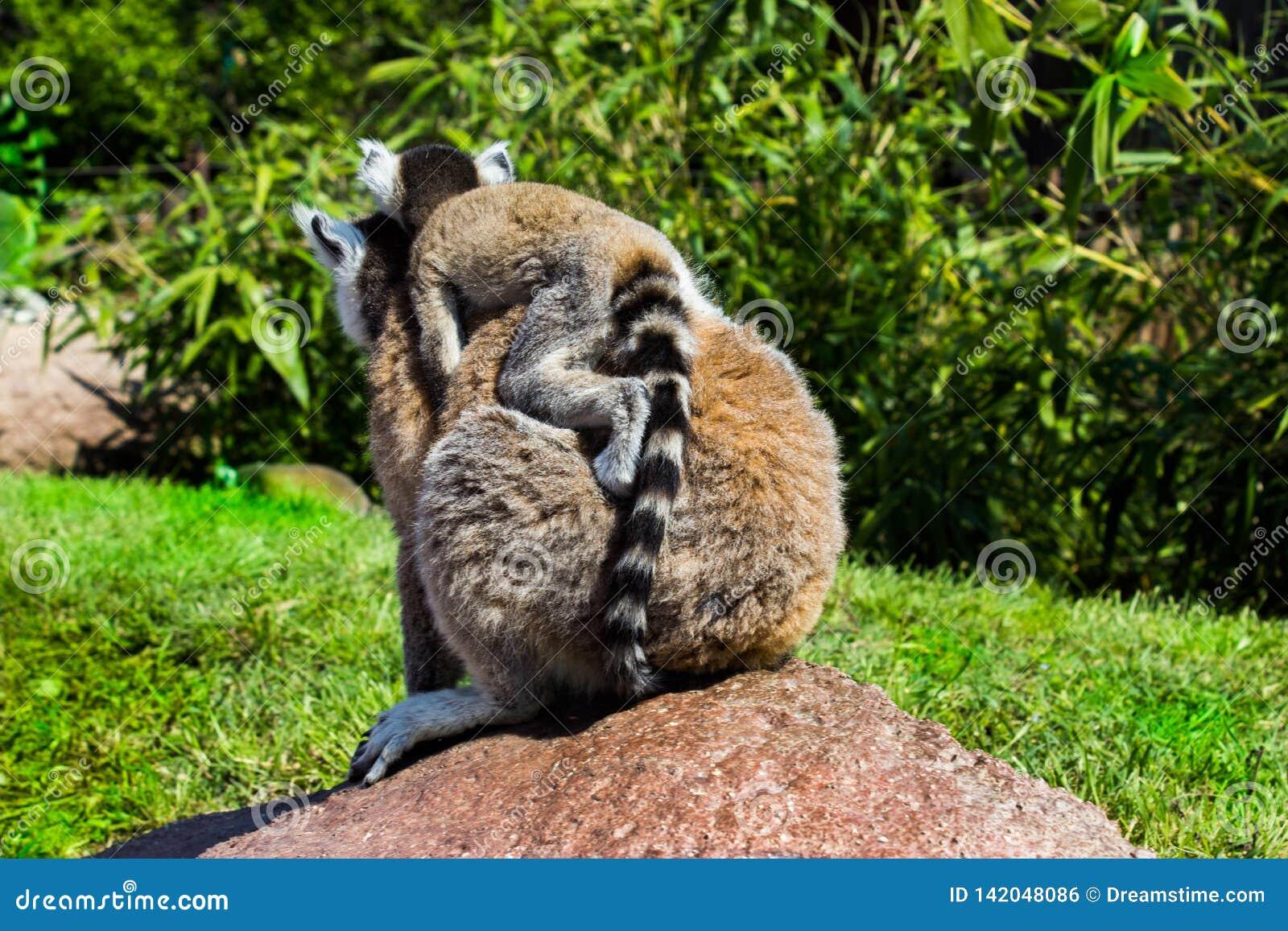 Cumiana, Torino / Italy 05-15-2015: Lemure mother and soon.