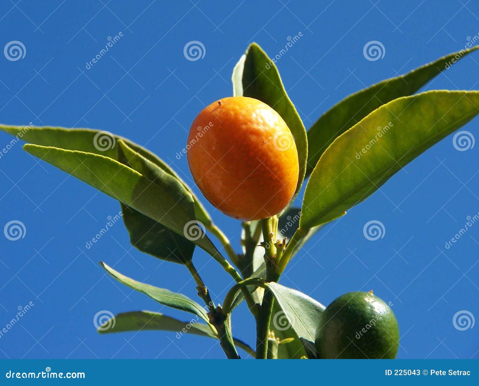 Cumquat 3