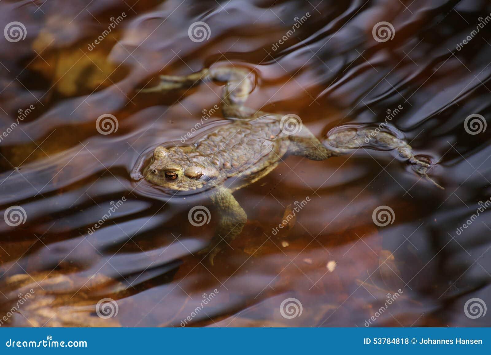 Cumuje żaby W wodzie