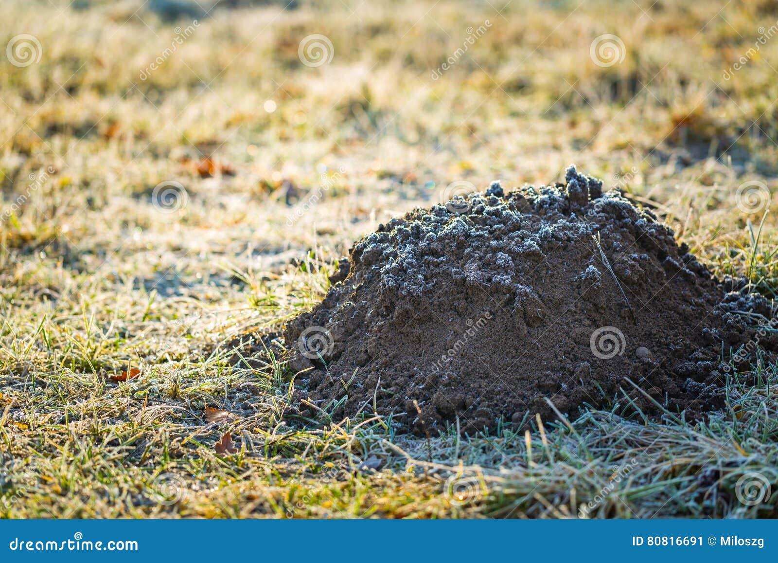 Cumulo di terra sollevato dalla talpa in giardino fotografato al