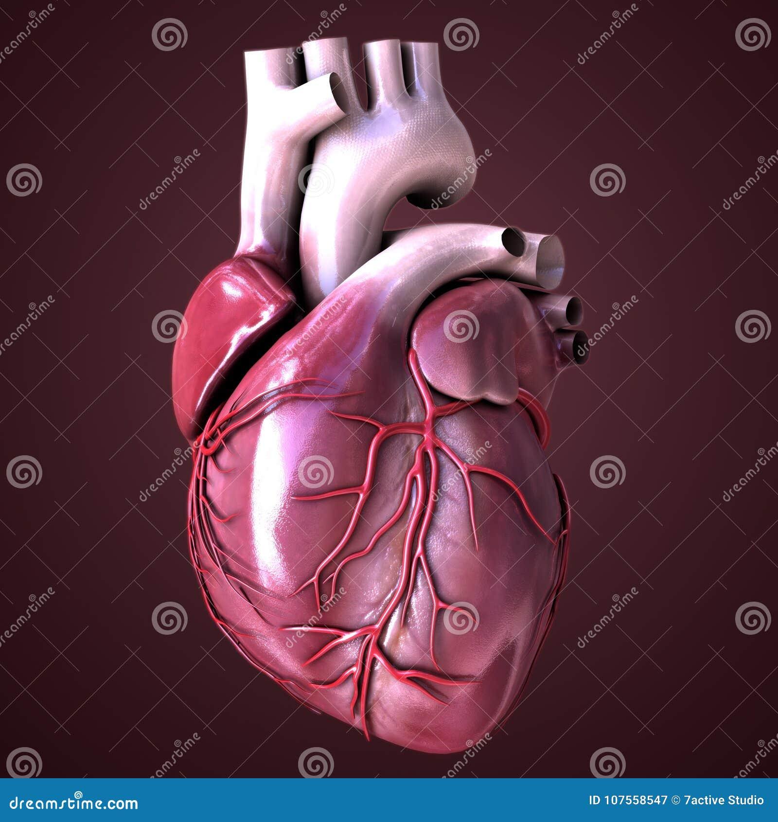 Cuore dell organo umano