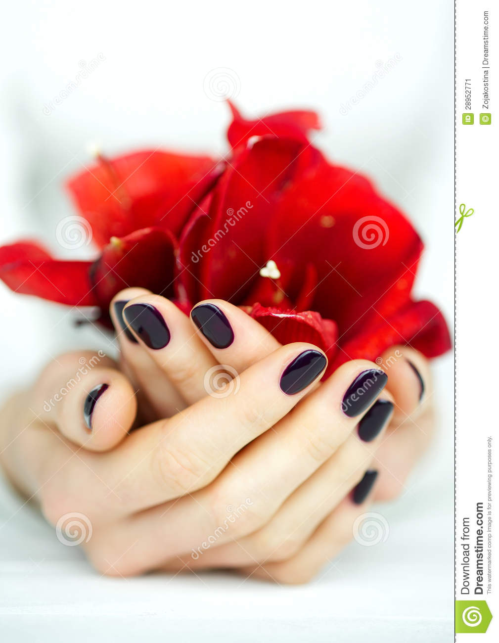 Cupped hands with manicure holding red flower