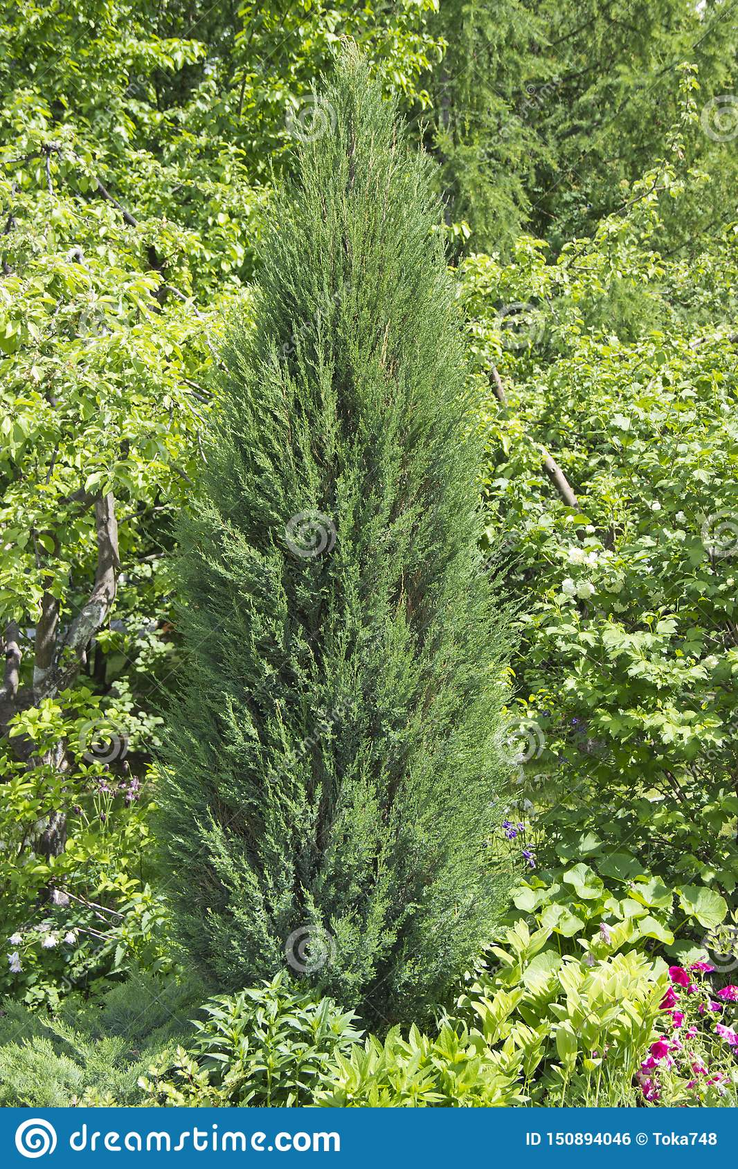 Cupressus is a genus of evergreen trees and shrubs of the Cypress family with pyramidal or spreading crown