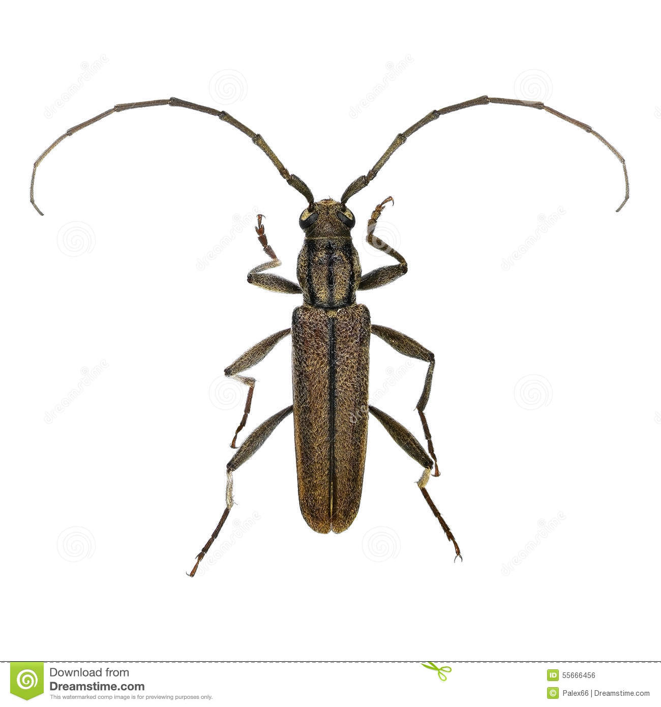 Cupressus long-horned beetle
