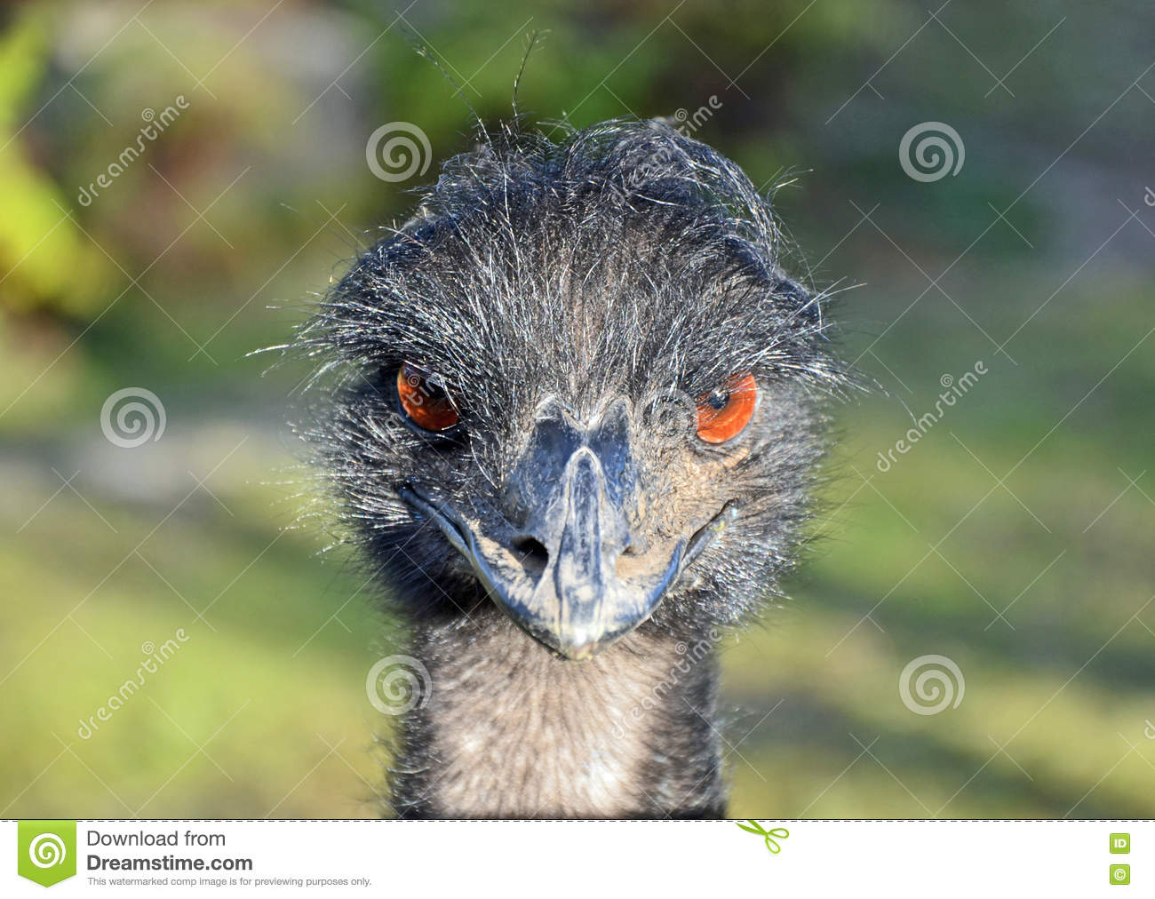 curious angry bird emu royalty free stock image cartoondealer com 71349154 angry birds clip art black and white angry birds clip art for coloring