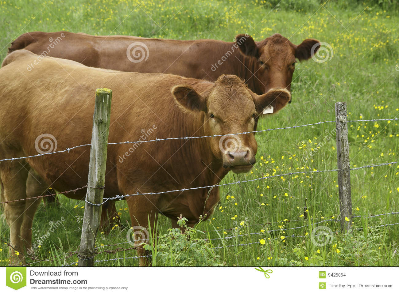 Curious beef cattle