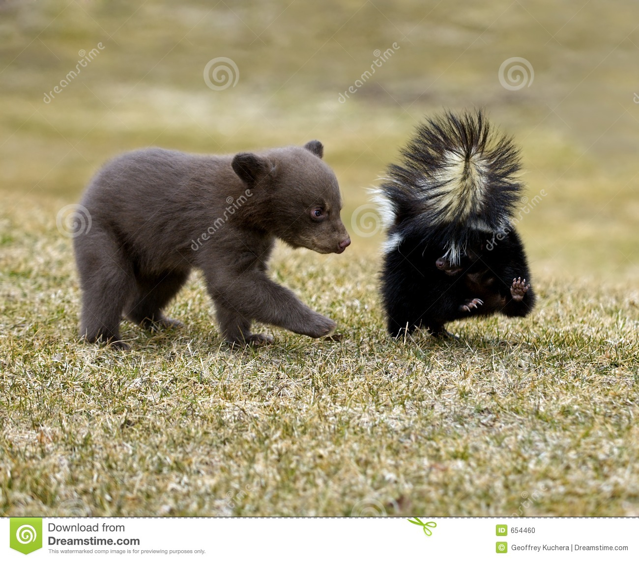 Download Curious Black Bear (Ursus Americanus) And Striped Skunk Stock Photo - Image of wildlife, americanus: 654460