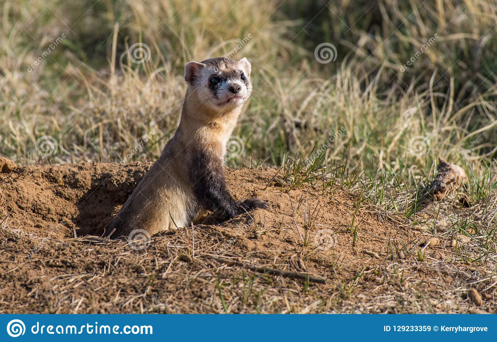 An Endangered Black-footed Ferret Popping out of a Prairie Dog Burrow for a Quick Observation