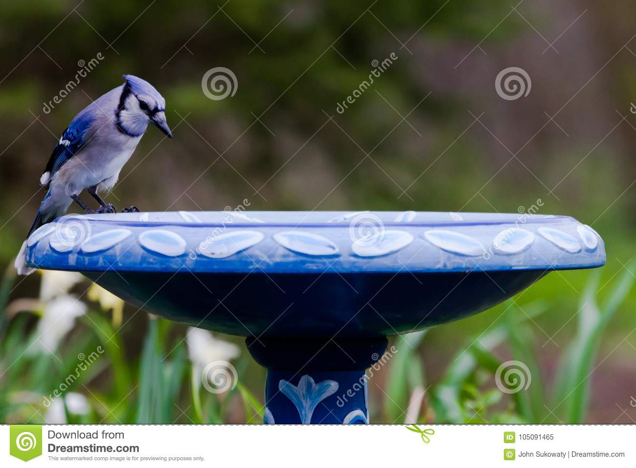Blue Jay At Bird Bath In Spring Green Flowers Colors Stock Image