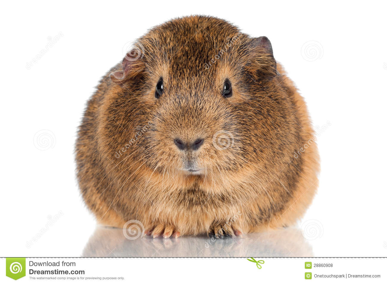 Curious brown guinea pig stock photo image of hair look for Guinea pig pictures free