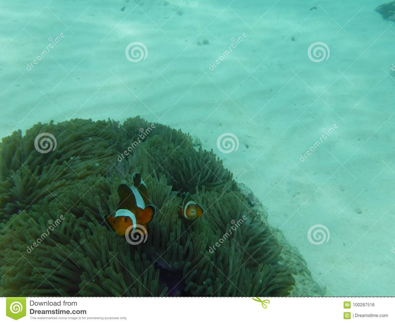 Curious clown fish