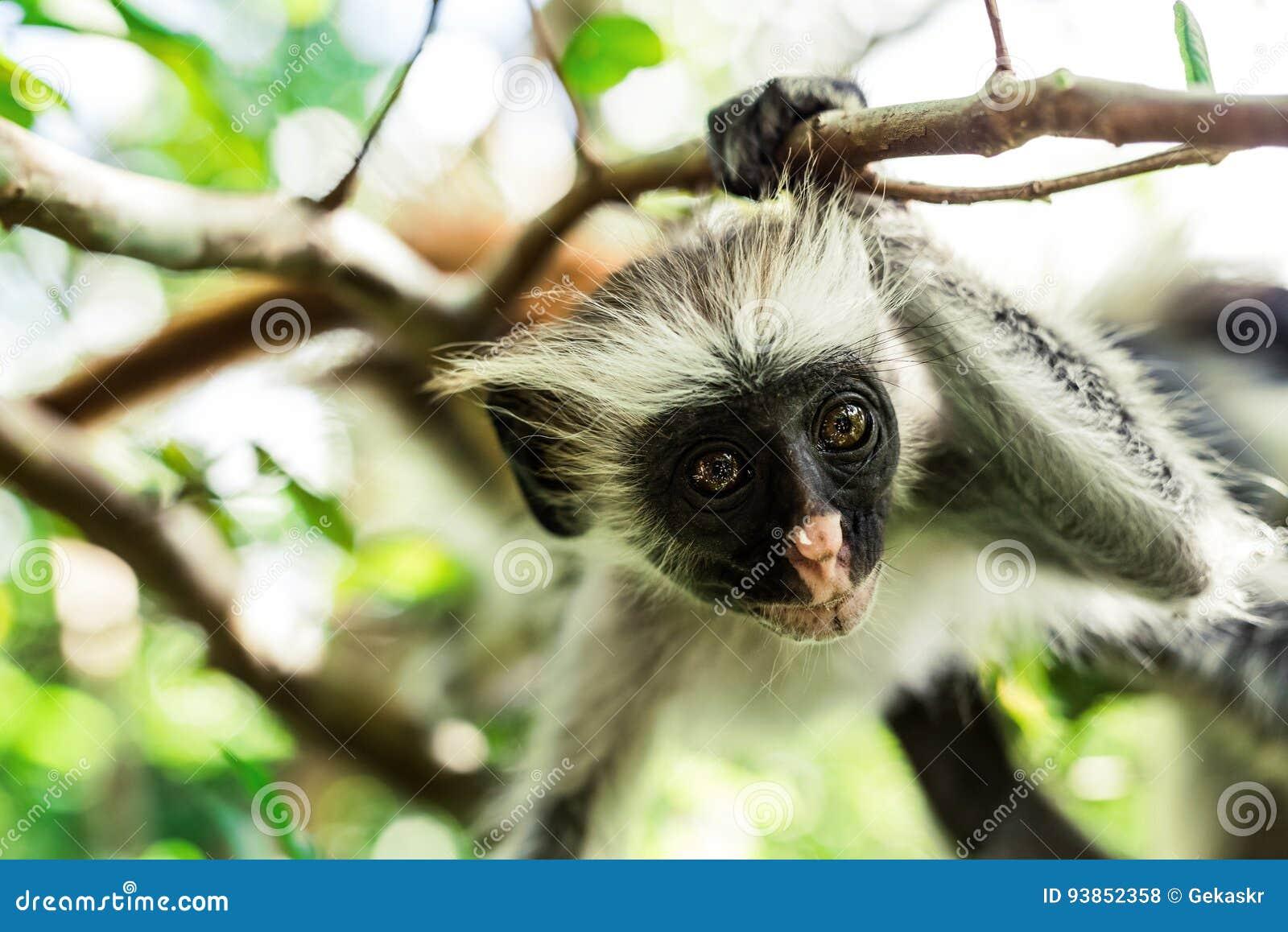 curious colobus monkey hanging on a tree zanzibar stock photo