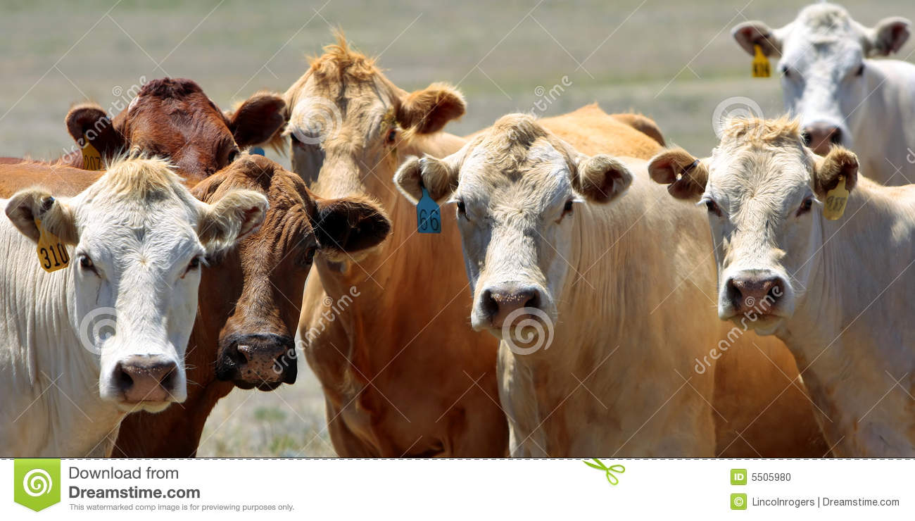 Curious Country Cows - Gang Of Seven Stock Photo - Image