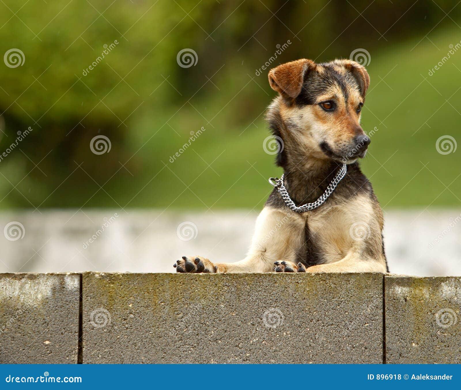 Curious Dog Royalty Free Stock Photos Image 896918