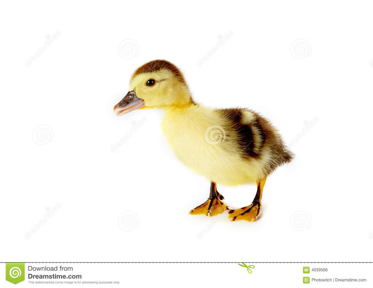 Curious duckling