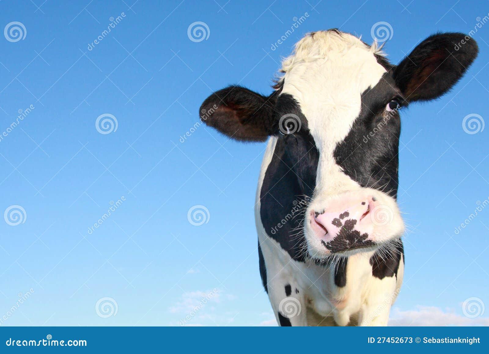 Curious holstein cow
