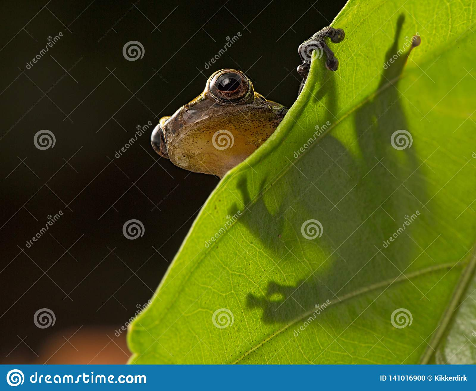 Curious little frog peeping over edge of leaf