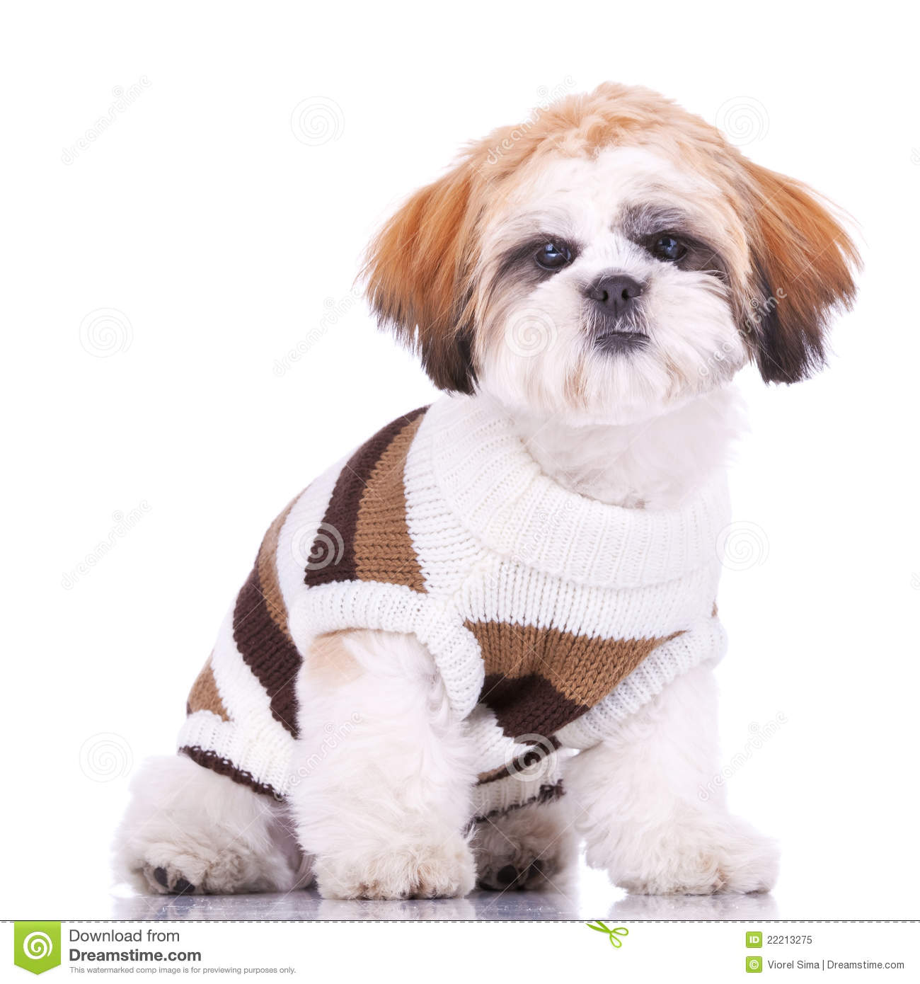 Curious Little Shih Tzu Puppy Wearing Clothes Royalty