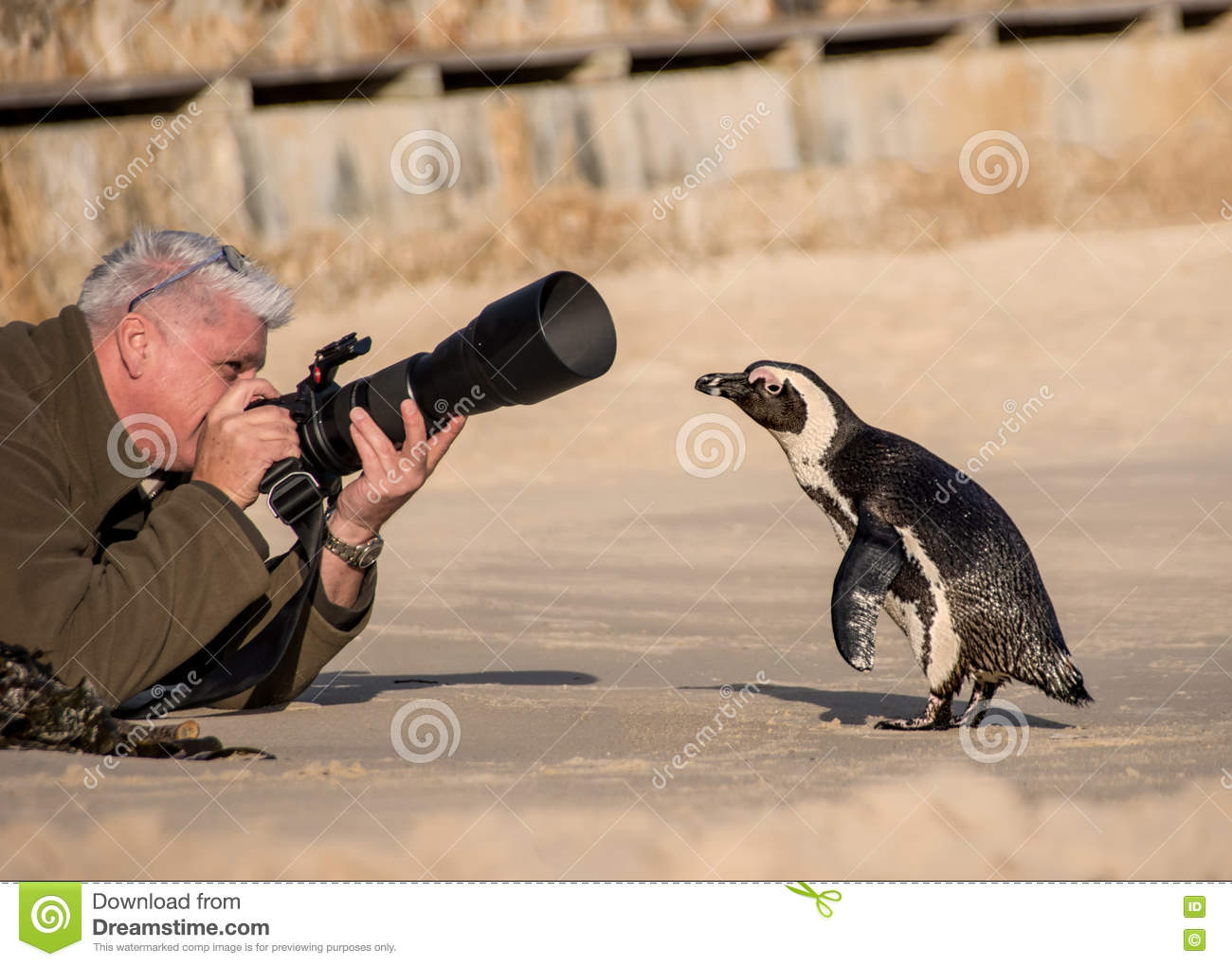 5b9d3d74d63 A curious Penguin goes for a closer look at a male photographer on a beach  in Africa