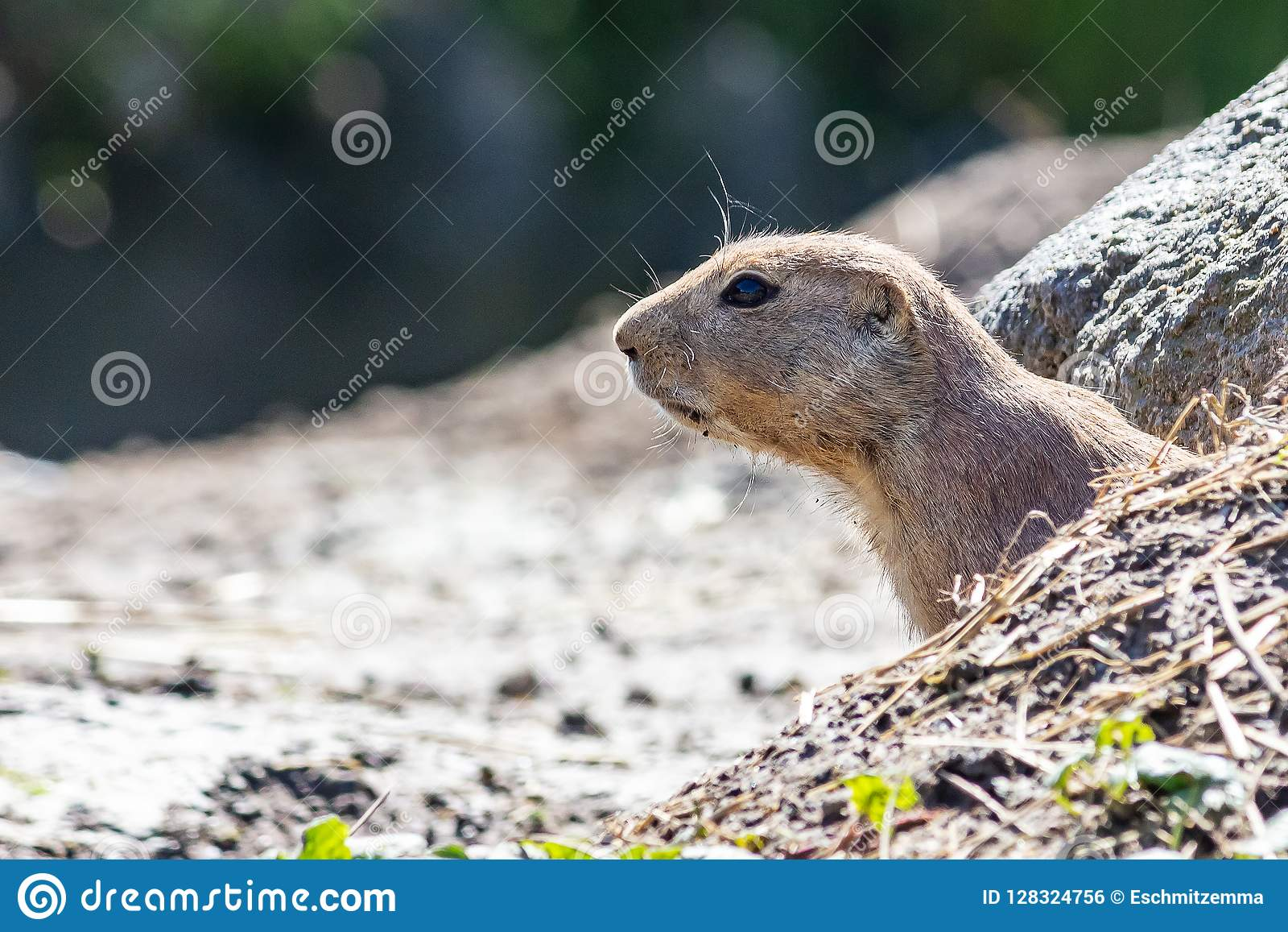 Curious prairie dog sticks head out of the cave