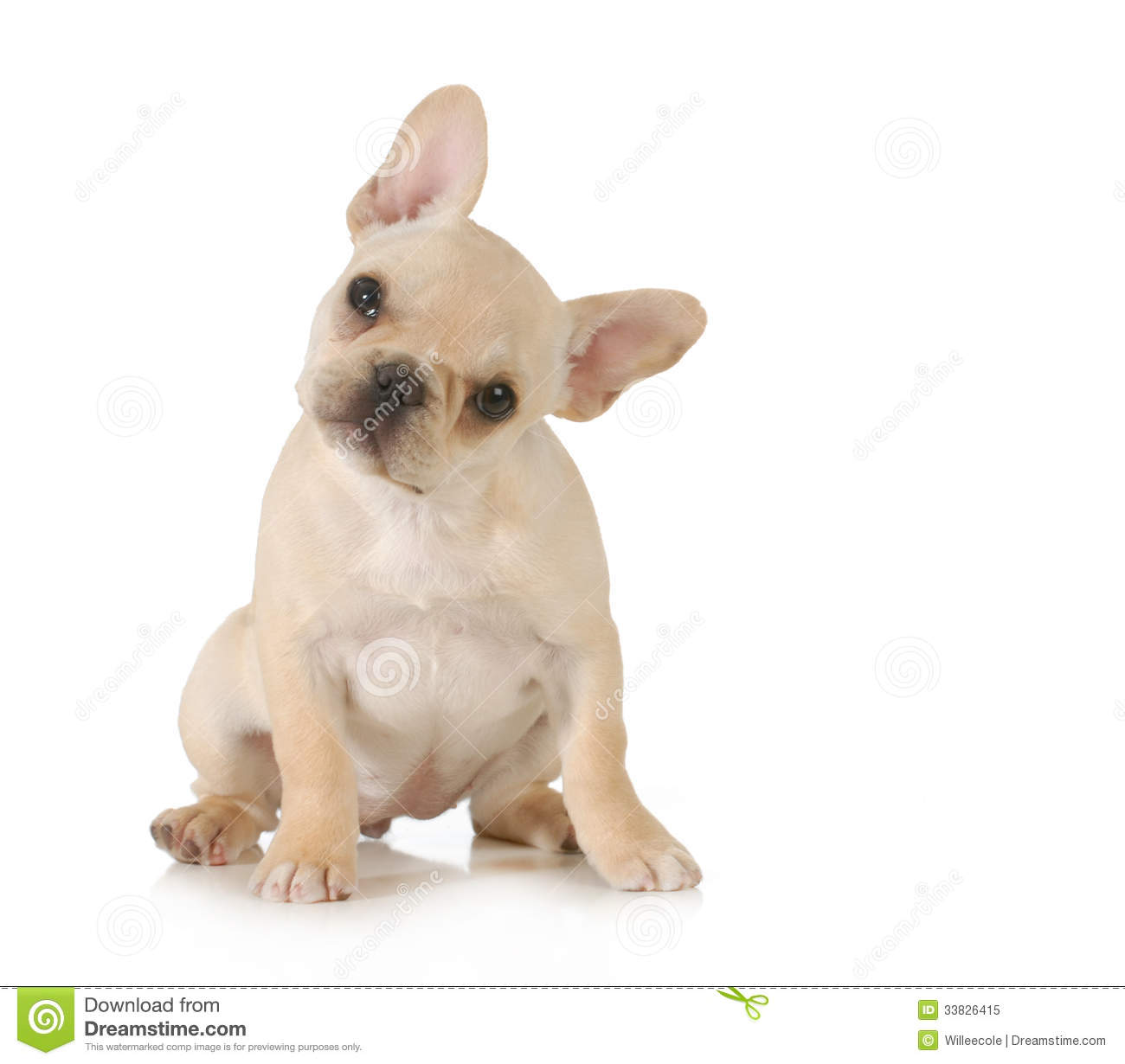 Curious puppy - adorable french bulldog puppy with cute expression ...