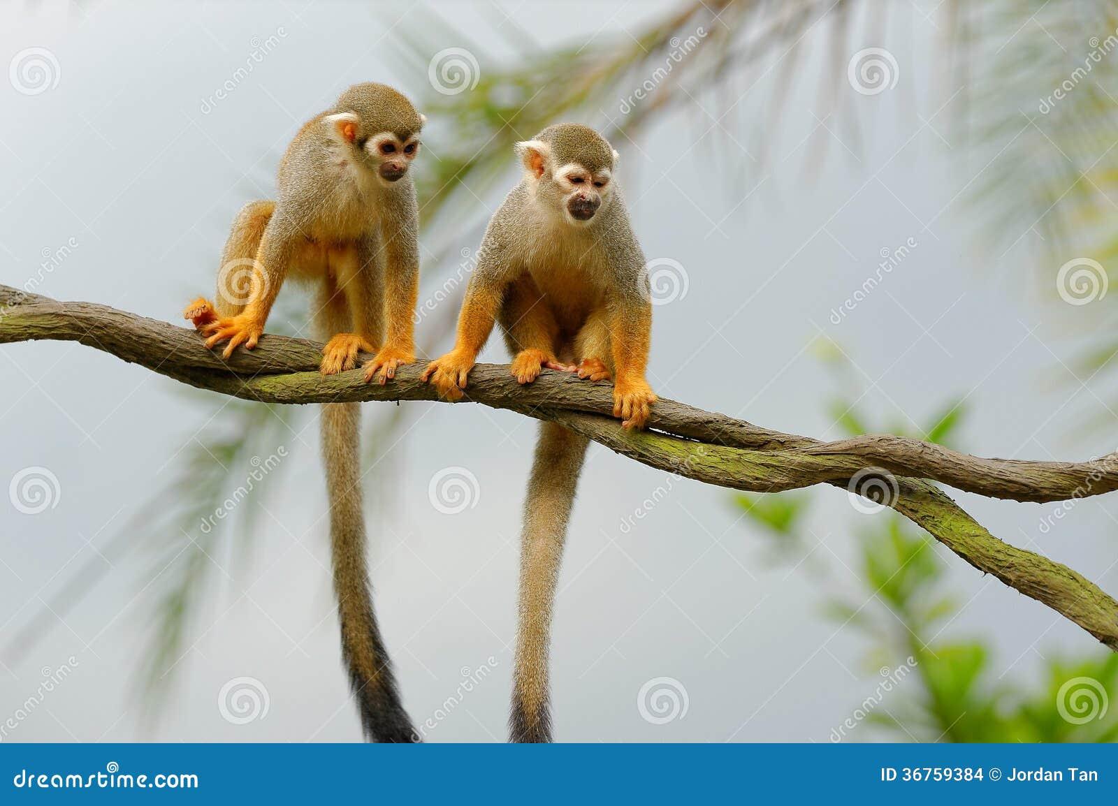 Squirrel monkeys in trees - photo#24