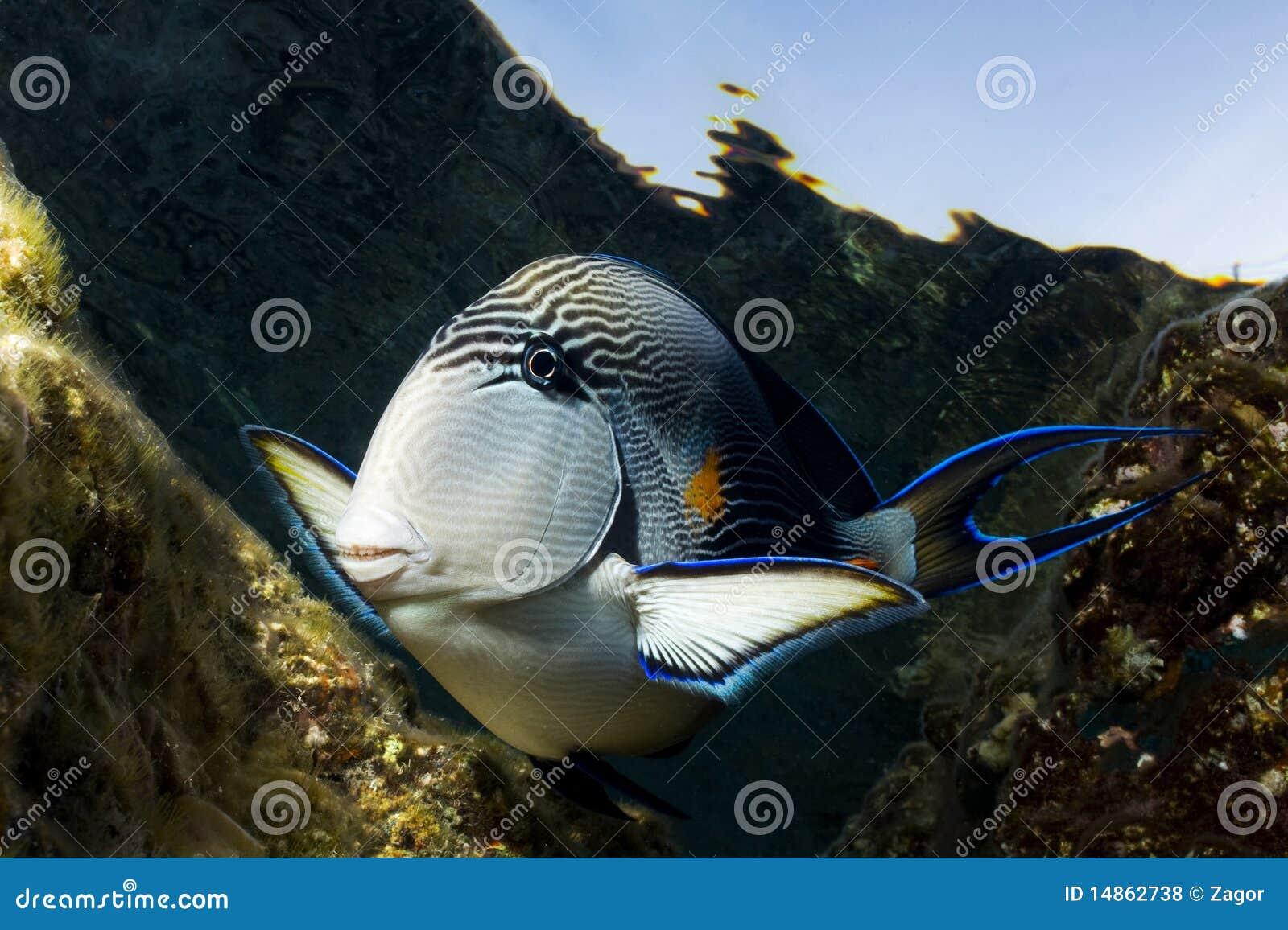 Curious tropical fish