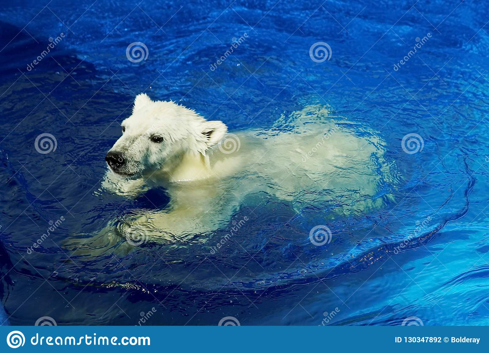 Curious white bear cub, Swimming lesson.A polar bear, a northern bear, a umka Lat. Ursus maritimus