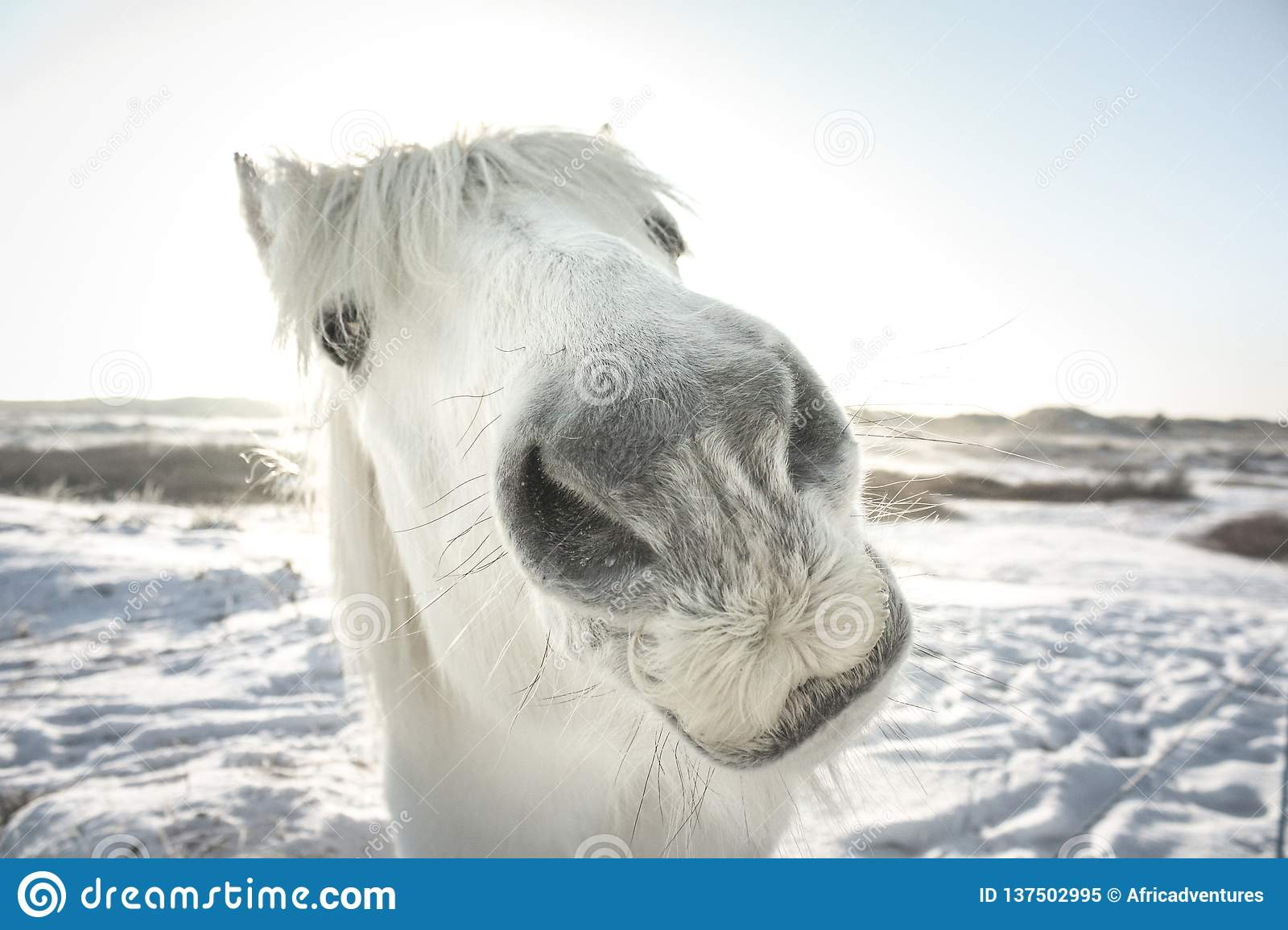 Funny Looking White Horse In The Snow Stock Image Image Of Color Footprint 137502995